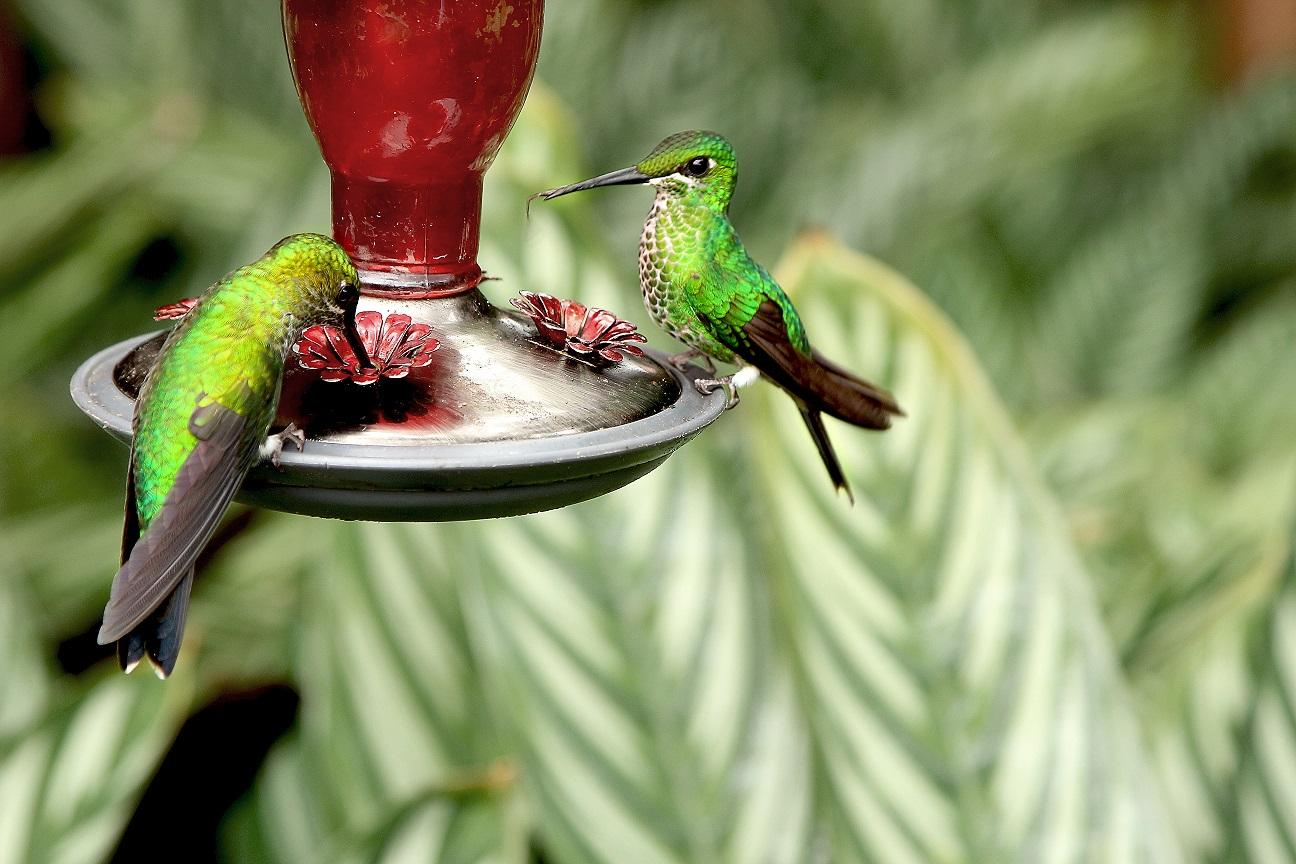 Two humming birds drinking nectar at Projects Abroad's Conservation volunteer placement in Costa Rica